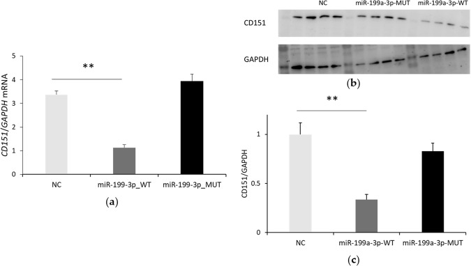 miR-199a-3p could inhibit the expression of CD151. Endogenous CD151 mRNA ( a ) and protein ( b ) expression under the condition of miR-199a-3p overexpression (NC, negative control; MUT, seed region mutated type; WT, wild type) was detected by qRT-PCR and Western blot, respectively; ( c ) Relative expression of CD151 normalized to GAPDH. Every four bands were a replicate, and this experiment was repeated for three times. Student's t -test was used to compare the differences between miR-199-3p-MUT/WT and NC, and one star (*) represented p