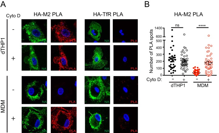 Cytochalasin D treatment restores HA-M2 PLA in MDM to levels comparable to that in dTHP1 cells. dTHP1 cells and MDM were infected with WSN at MOI 0.1. At 14 hpi, cells were treated with vehicle control (DMSO) or 20 μM cytochalasin D (Cyto D) for 2 h before fixation. (A) Cells were analyzed as in Fig. 5A . Representative maximum intensity projection images are shown. (B) Number of PLA spots was counted for each cell. These experiments were performed in parallel with the experiments shown in Fig. S4 using MDM from the same donors. Data are from at least three independent experiments, and 8 to 10 cells were analyzed per experiment. Error bars represent standard error of mean. ****, P