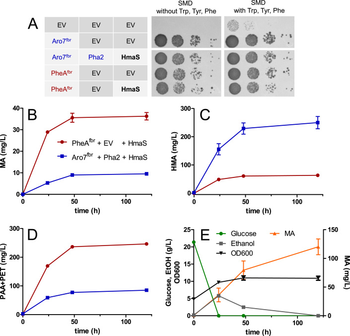 Using the bifunctional E. coli enzyme PheA fbr for mandelic acid production in an aro7Δ S. cerevisiae strain. A) Growth test with MRY36 (CEN.PK2-1C TRP1 Shik↑ aro10Δ aro8Δ pdc5Δ aro7Δ ) cells harboring different plasmid combinations on SMD with and without supplementation of aromatic amino acids. Cell dilutions of OD 600 1, 10 −1 , 10 −2 and 10 −3 (from left to right, respectively) were used. The picture was taken after 3d at 30 °C. EV, empty vector. B), C) and D) Production of mandelic acid (MA, B), hydroxymandelic acid (HMA, C) and phenylacetic acid + phenylethanol (PAA+PET, D) by the aro7Δ strain MRY36 expressing either pheA fbr and hmaS (red) or ARO7 fbr , PHA2 and hmaS (blue). E) Fermentation with the aro7Δ strain MRY36 harboring the hmaS-pheA fbr plasmid MRV144. MA, glucose and ethanol titers and OD 600 in SMD without supplementation of aromatic amino acids. The fermentations were performed in SMD (20 g/L glucose) without supplementation aromatic amino acids and with a starting OD 600 of 5. Error bars indicate standard deviation of biological duplicates (For interpretation of the references to color in this figure legend, the reader is referred to the web version of this article).