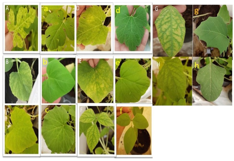 Symptoms observed, PCR, and dot blot hybridization confirmation on some of the host range plants inoculated (left: A, B, C, D, E, F and G) and healthy control plant (right: a, b, c, d, e, f, and g) with the Saudi isolate of WmCSV. (A) chlorotic mottling and vein yellowing on C. lanatus. (B) Interveinal chlorotic patches on C. melo . (C) Symptoms of mosaic on C. maxima. (D) interveinal chlorotic patches and chlorotic lesions on C. pepo . (E) interveinal chlorotic patches and mottling on L. siceraria . (F) interveinal chlorosis on V. radiata. (G) interveinal chlorosis on Datura stramonium . (H) mild interveinal chlorotic patches on A. viridis .