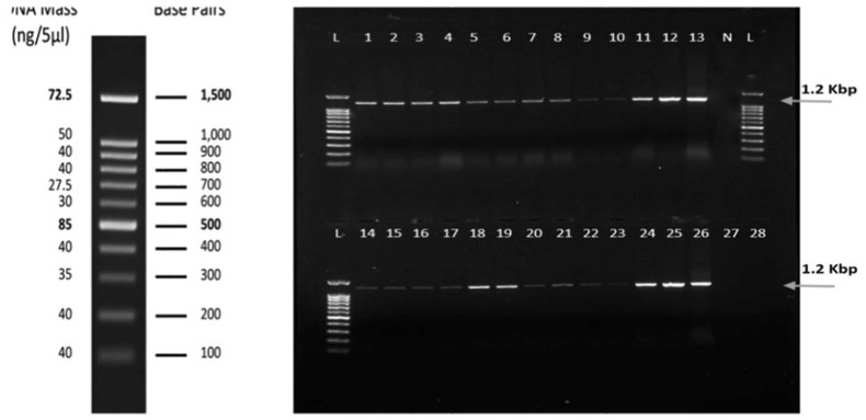 Agarose gel (1%) electrophoresis analysis of PCR products for WmCSV (1201 bp) using specific primers for the coat protein gene from selected symptomatic watermelon leaves collected from different locations. Lanes 1–5: from Al-Lith, lanes 6–9: from Wadi Baish, lanes 10–13: from Jeddah, lanes 14–17: from Tofeel, lanes 18–20: from Abu Arish, lanes 21–22: from Asfan, lanes 23–24: from Ghonfada, and lanes 25–26: from Jezan. No PCR amplification was observed in uninfected sample tissue (lane N), melon (lane 27), or wild watermelon (lane 28). Lane L: 100-bp RTU DNA Ladder (Genedirex).