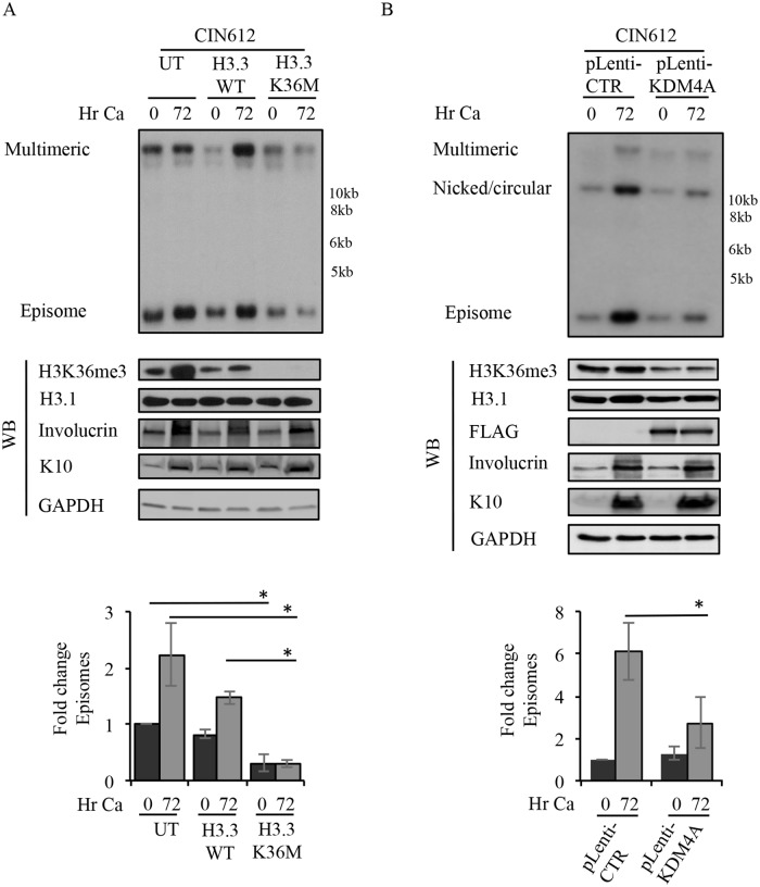 H3K36me3 is required for productive viral replication. (A) CIN612 cells were left untreated (UT) or transduced with lentivirus expressing either wild-type (WT) H3.3 or the H3.3K36M mutant. 72hr post-transduction, cells were harvested as a T0 (undifferentiated) or differentiated in high calcium medium for 72hr. (B) CIN612 cells were transduced with either pLenti-control (CTR) or pLenti-FLAG-KDM4A. Following selection in puromycin, cells were harvested as a T0 (undifferentiated) or were induced in high calcium for 72hr. For (A) and (B) DNA and protein were harvested at the indicated time points. DNA was digested with BamHI (non-cutter) and Southern blotting analysis was performed to analyze episome copy number using the HPV31 genome as a probe. Western blot analysis was performed to examine the levels of H3K36me3, with H3.1 serving as a loading control. Involucrin and K10 were used as markers of differentiation and GAPDH as loading control. For (B) western blot analysis was performed using an antibody to FLAG to detect KDM4A. For (A) and (B), fold change in episome copy number was determined by performing densitometry of episomal bands from three independent experiments using ImageJ software. Graphed is the average fold change relative to (A) UT T0 and (B) pLenti-CTR, which are set to one. Error bars represent means ± standard errors. Statistics were assayed using a student's t test. * p