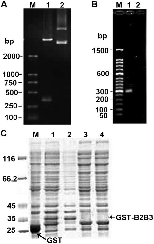 Electrophoretic and SDS-PAGE analysis of recombinant pGB2B3. (A) Electrophoretic identification of digested pGB2B3 recombinant (1.0% agarose gel). Lane M, DL2000 marker; lane 1, pGB2B3/BamHI+EcoRI; lane 2, pGEX-4T-1 plasmid. (B) Electrophoresis of the PCR product from pGB2B3 (1.0% agarose gel). Lane M, 50 bp marker; lane 1, PCR product of pGB2B3 plasmid; lane 2, PCR product of pGEX-4T-1 plasmid. (C) SDS-PAGE analysis of GST-tagged BD2/3 fusion protein expression. Lane M, protein MW marker; lane 1, expression products of pGEX-4T-1 induced by IPTG; lane 2, expression products of pGB2B3 induced by IPTG; lane 3, supernatant of lysed culture of pGB2B3 induced by IPTG; lane 4, pellet of lysed culture of pGB2B3 induced by IPTG; lane 5, expression products of pGB2B3 without IPTG induction. BD, β-defensin; IPTG, isopropyl-β-D-thiogalactopyranoside; GST, glutathione S transferase.