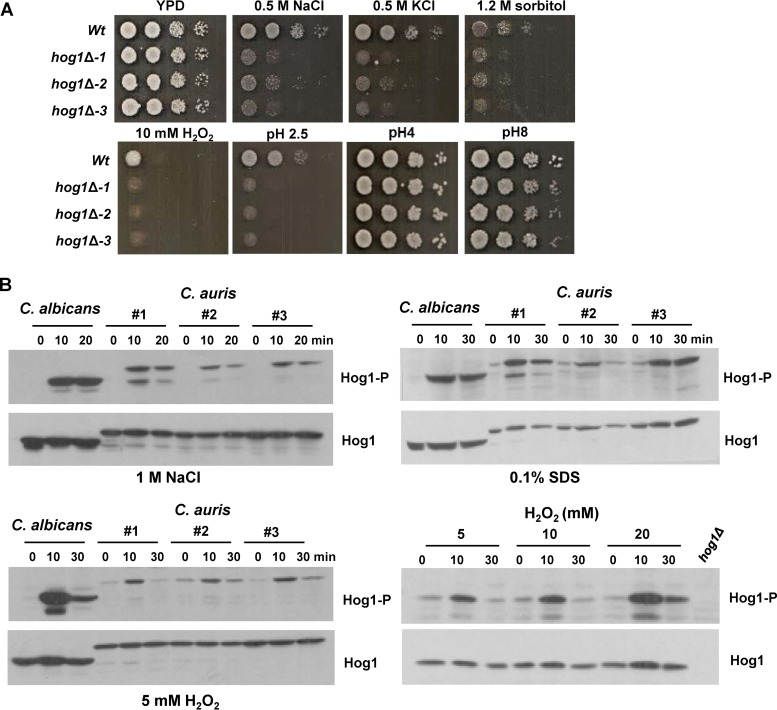 Stress-protective roles of C. auris Hog1. (A) Hog1 is required for resistance to diverse stresses. Exponentially growing cells were spotted in serial dilutions onto YPD agar plates containing the indicated additives and incubated for 24 or 48 h at 30°C. (B) Hog1 is activated in response to diverse stresses. Western blots depicting Hog1 phosphorylation in response to the indicated stresses. Blots were probed for phosphorylated Hog1 (Hog1-P), stripped, and reprobed for total Hog1 (Hog1).