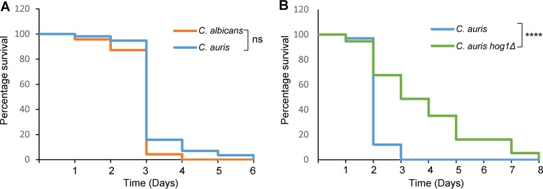 C. elegans model of infection. (A) C. auris displays comparable virulence to C. albicans in C. elegans . (B) Deletion of Hog1 attenuates C. auris virulence in C. elegans . In both experiments, nematodes were infected with the indicated strains and the survival was monitored daily. These data are from a single experiment; two further independent biological replicates are shown in Fig. S4 in the supplemental material.