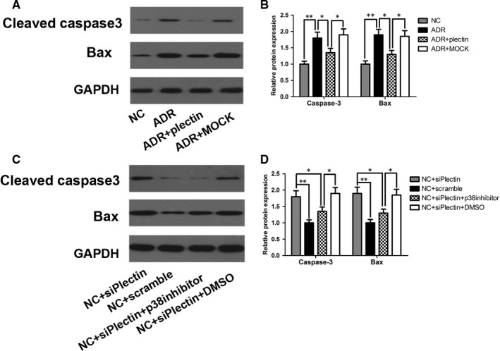 p38 induced podocyte apoptosis by activating Bax and caspase‐3. For the ADR group, podocyte was treated with 0.5 μg/ mL ADR for 12 h. For the ADR + plectin group or ADR + MOCK group, podocyte was incubated with pEGFP ‐N1‐plectin plasmids or empty vectors for 6 h and then cultured normally for 42 h, 0.5 μg/ mL ADR was added 12 h prior to cell harvest. For the NC + siPlectin group and NC + Scramble group, podocyte was transfected with siPlectin or scramble RNA respectively at a final concentration of 20 nmol/L for 4 h and then cultured normally for 68 h. For p38‐ MAPK inhibitor study, podocyte was preincubated with the p38 inhibitor SB 203580 (5 μmol/L) or DMSO vehicle for 1 h before siPlectin transfection and then incubated for an additional 72 h until podocyte collection. A‐B, Western blot showed that Bax and cleaved caspase‐3 protein expression levels were elevated in ADR ‐treated podocyte compared with NC podocyte and that recovering plectin expression inhibited the activation of these pro‐apoptotic proteins. C‐D, Western blot showed that siPlectin transfection increased Bax and cleaved caspase‐3 protein expression in the NC + siPlectin group compared with the NC + Scramble group, whereas p38 inhibition blocked the siPlectin‐induced activation of these proteins. Data shown are representative of three independent experiments (n = 3). * P
