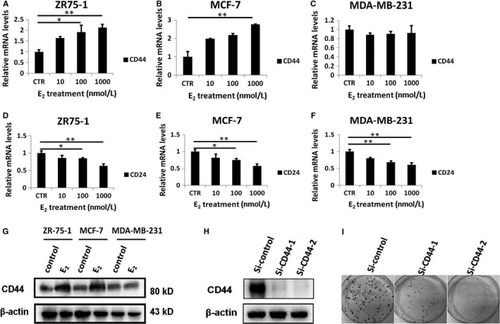 E 2 could stimulate CD 44 expression in ER + breast cancer cells. A, CD 44 transcript level was detected by real‐time PCR in ER + ZR ‐75‐1 cells treated with the indicated concentrations of E 2 for 72 h. B, CD 44 transcript level was detected by real‐time PCR in ER + MCF ‐7 cells treated with the indicated concentrations of E 2 for 72 h. C, CD 44 transcript level was detected by real‐time PCR in ER ‐ MDA ‐ MB ‐231 cells treated with the indicated concentrations of E 2 for 72 h. D, Real‐time PCR analysis of CD 24 expression in ER + ZR ‐75‐1 cells treated with the indicated concentrations of E 2 for 72 h. E, Real‐time PCR analysis of CD 24 expression in ER + MCF ‐7 cells treated with the indicated concentrations of E 2 for 72 h. F, Real‐time PCR analysis of CD 24 expression in ER + MCF ‐7 cells treated with the indicated concentrations of E 2 for 72 h. G, Western blot analysis of CD 44 protein expression in breast cancer cells treated with E 2 (1 μmol/L) for 72 h. H, Western blot analysis of CD 44 protein expression in ER + MCF ‐7 cells transfected with CD 44‐targeting si RNA . H, Western blot analysis of CD 44 protein expression in ER + MCF ‐7 cells transfected with CD 44‐targeting si RNA . I, MCF ‐7 cells described in Figure 1 were treated with paclitaxel (5 nmol/L) for 14 d before being subjected to colony formation assay. * P