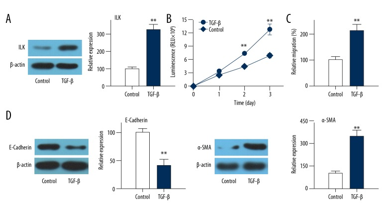Effects of TGF-β treatment on migration and EMT of HLEC-h3 cells. ( A ) Effects of TGF-β treatment on ILK expression. ( B ) Effects of TGF-β treatment on cell migration. ( C ) Effects of TGF-β treatment on E-cadherin expression. ( D ) Effects of TGF-β treatment on α-SMA expression. Each experiment was independently repeated 3 times. ** Compared with control group, p