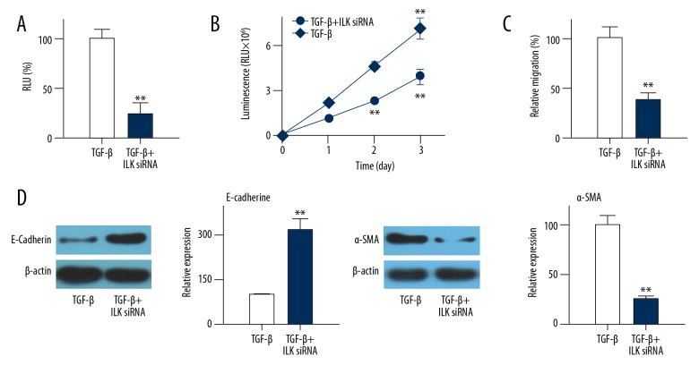 Effects of ILK expression downregulation on NF-κB activity. ( A ) Effects of ILK siRNA treatment on NF-κB activity in EMT cell model. ( B ) Effects of ILK siRNA treatment on cell migration. ( C ) Effects of ILK siRNA treatment on E-cadherin expression. ( D ) Effects of ILK siRNA treatment on α-SMA expression. Each experiment was independently repeated 3 times. Control group was TGF-β-induced transdifferentiated cells. ** Compared with control group, p