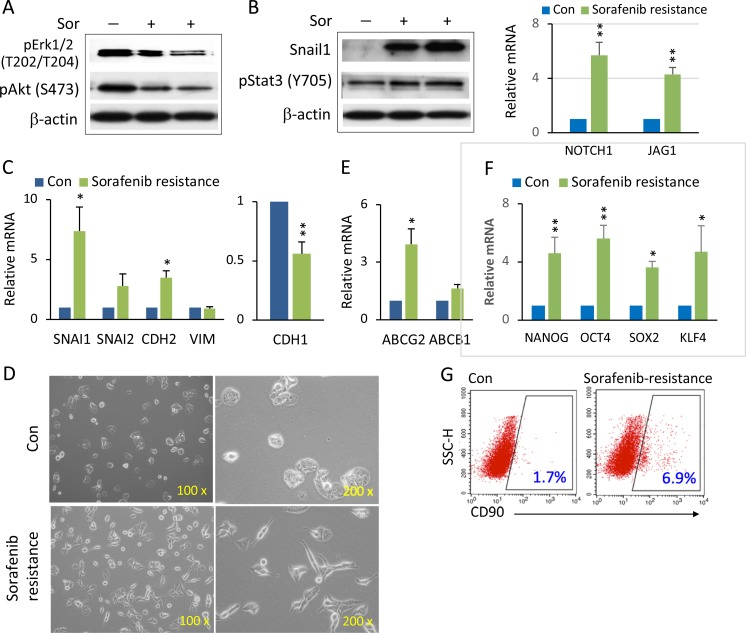 Enhanced Notch1 and Snail1 expression and EMT-mediated stemness in sorafenib resistant HCC spheroids ( A ) 97H spheroids were treated with high doses of sorafenib (10–15 μM) for over two weeks to generate sorafenib resistant cells. Western blot analysis of phospho-Erk1/2 and phospho-Akt in sorafenib-resistant (Sor+) cells compared with control (Sor−). ( B ) Western blot analysis of Snail1 and pStat3 in sorafenib-resistant (Sor+) cells compared with control (Sor−) (left panel). mRNA levels of NOTCH1 and its ligands JAG1 in sorafenib-resistant spheroids versus control (right panel). ( C ) mRNA levels of the EMT related genes SNAIL1, SNAIL2, CDH2 (N-CADHERIN), VIM (VIMENTIN) (left panel), and CDH1 (E-CADHERIN) (right panel) in sorafenib-resistant 97H spheroids compared to control (non-sorafenib resistance). ( D ) Phase contrast images of the cell morphologies of sorafenib-resistant cells compared with control. ( E ) mRNA levels of the multidrug resistant genes, ABCG2 and ABCB1, in sorafenib-resistant 97H spheroids versus control. ( F ) mRNA levels of the stemness genes, NANOG, OCT4, SOX2, and KLF4, in sorafenib-resistant and control spheroids. qPCR data are represented as the mean ± SD, n = 2 (from different sorafenib-resistant populations). An independent t test was used for statistical comparison. * p