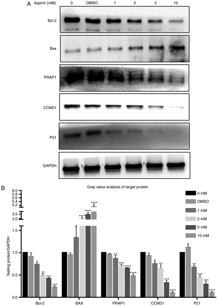 Effects of aspirin on <t>Bcl-2,</t> <t>BAX,</t> PARP1, Cyclin D1 and P21 expression in RA-FLS. (A) After RA-FLS were exposed to various concentration of aspirin for 24 h, western blotting was used to determine Bcl-2, BAX, PARP1, Cyclin D1 and P21 protein levels. The corresponding internal control was GADPH. Changes in Bcl-2, BAX, PARP1, Cyclin D1 and P21 protein expression in RA-FLS treated with aspirin are shown: Bcl-2, PARP1, Cyclin D1 and P21 were decreased while BAX was increased, each with increasing aspirin concentration. (B) Bar graph shows the gray value analysis of Bcl-2, BAX, PARP1, Cyclin D1 and P21. Data are presented as the means ± SD (error bars) from three independent experiments. * P