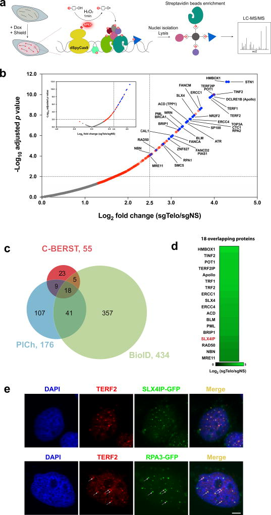 Using C-BERST to biotinylate telomere-associated proteins in living human cells. ( a ) Diagram of the C-BERST workflow. ( b ) Telomere-associated proteome identification by ratiometric C-BERST. A volcano plot is shown for C-BERST-labeled, telomere-associated proteins in U2OS cells. For each protein, the H/M SILAC ratio reflects the enrichment of identified proteins in sgTelo vs. sgNS cells. 359 proteins (indicated by blue and red dots) are statistically enriched [BH-adjusted p value