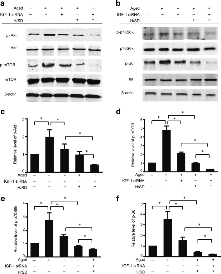 IGF-1 knockdown decreased the activity of the Akt/mTOR signaling pathway in aged BM-MSCs. a Representative western blots of p-Akt/Akt and p-mTOR/mTOR in aged BM-MSCs. b Representative western blots of p-p70S6, K/p70S6 K, and p-S6/S6 in aged BM-MSCs. Semiquantification of the protein expression levels of p-Akt ( c ), p-mTOR ( d ) ( n = 5, * p