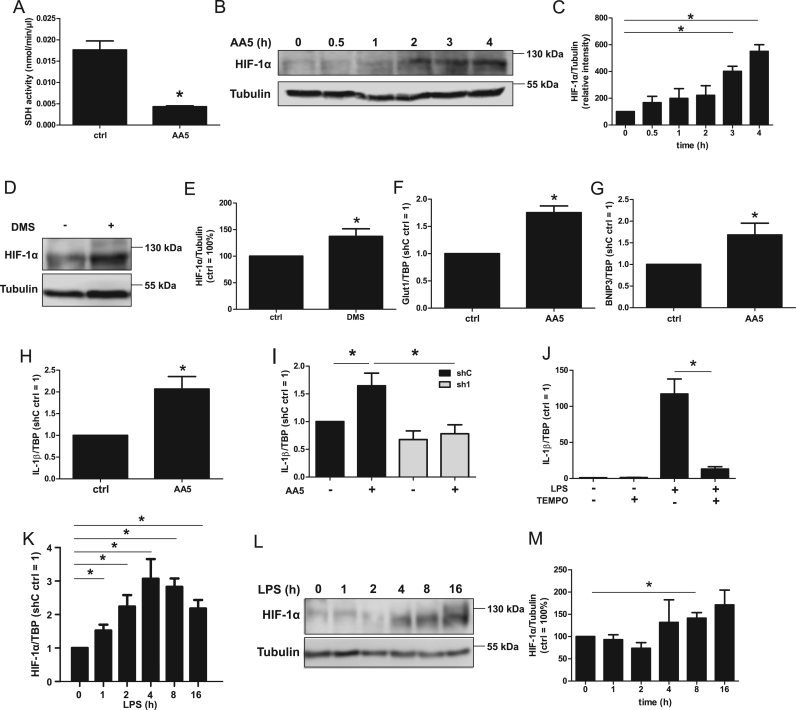 HIF-1α induction after SDH inhibition. A. Succinate dehydrogenase (SDH) activity assay in THP-1 cells treated with the SDH inhibitor atpenin A5 (AA5). B. Time-dependent Western analysis of hypoxia inducible factor (HIF)-1α and tubulin in AA5-treated cells. C. Quantification of B (n = 4). D. THP-1 cells incubated for 6 h with dimethyl succinate (DMS) followed by Western analysis of HIF-1α and tubulin. E. Quantification of D (n = 5). F-H. mRNA expression of glucose transporter 1 (Glut1, F), CL2/adenovirus E1B 19 kDa protein-interacting protein 3 (BNIP3, G), and interleukin-1β (IL-1β, H) normalized to the TATA Box binding protein (TBP) after AA5-treatment (4 h) (n = 7). I. IL-1β mRNA analysis of AA5-treated control (shC, black bars) and HIF-1α knockdown (sh1, grey bars) cells (n = 4). J. THP-1 cells were incubated with LPS and TEMPO followed by IL-1β mRNA detection (n = 5). K. THP-1 cells were time-dependently treated with LPS followed by HIF-1α mRNA analysis (n = 7). L. Cells were time-dependently treated with LPS, followed by Western analysis of HIF-1α and tubulin. M. Quantification of L (n = 5). Data are mean values ± SEM, *p