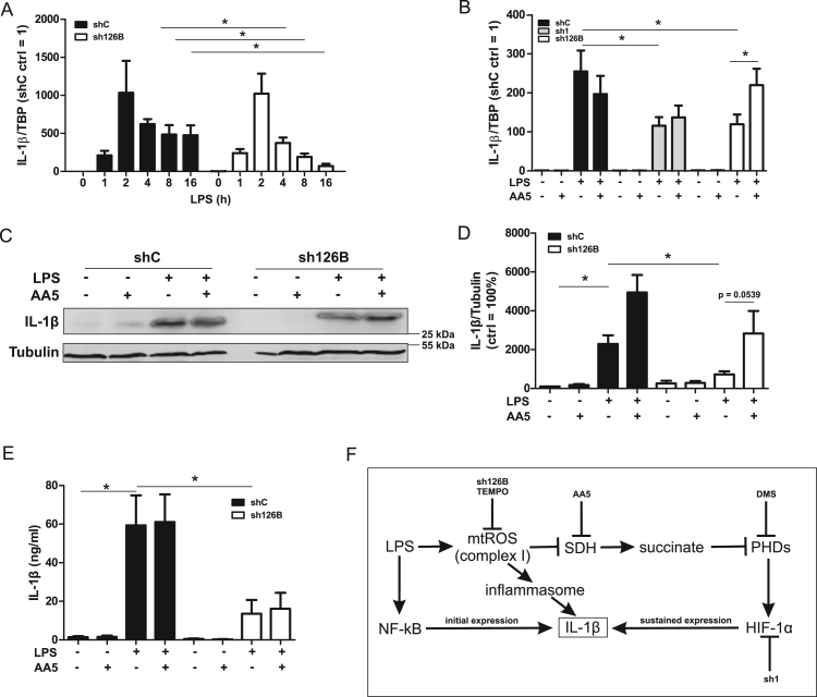 IL-β expression in TMEM126B knockdown cells. A. Interleukin-1β (IL-1β) mRNA analysis in control (shC, black bars) and TMEM126B knockdown cells (sh126B, white bars) treated with LPS for indicated times (n = 7). B. shC, HIF-1α knockdown (sh1, grey bars), and sh126B cells were treated with LPS for 8 h, while atpenin A5 (AA5) was added for the last 4 h. IL-1β mRNA was analyzed (n = 7). C. Western analysis of IL-1β and tubulin in shC and sh126B cells treated with LPS for 8 h. AA5 was added for the last 4 h. D. Quantification of C (n = 7). E. Quantification of cytometric bead array for IL-1β in supernatants from experiments described in C (n = 5). F. Scheme of the proposed two-staged mechanism of IL-1β expression. Data are mean values ± SEM, *p
