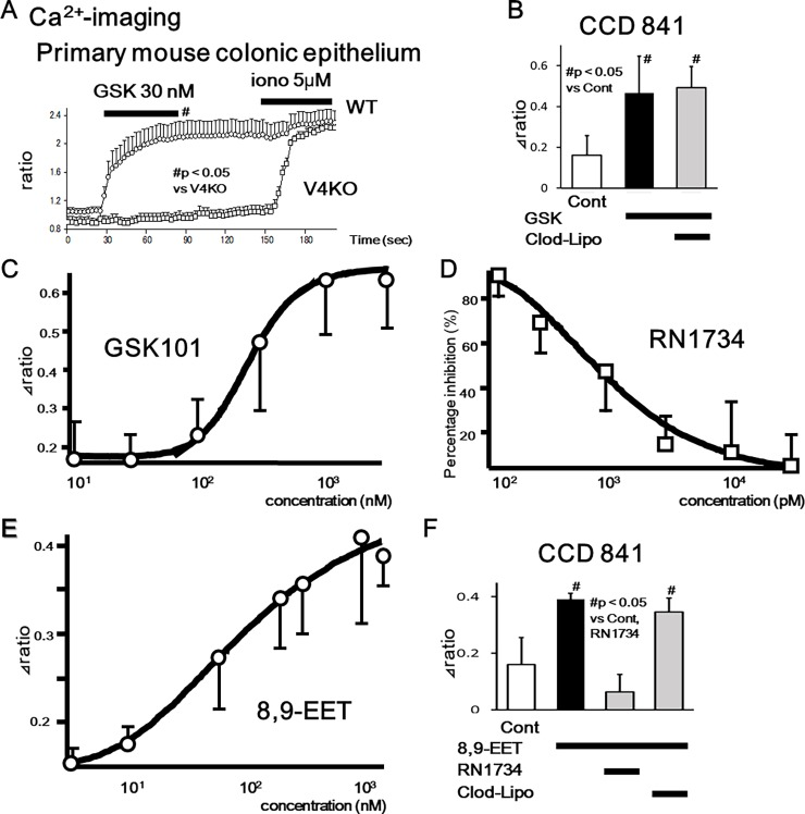 TRPV4-mediated increase in cytosolic Ca 2+ ([Ca 2+ ] i ) in mouse primary colonic epithelial cells and CCD 841 cells. (A) [Ca 2+ ] i changes in response to the TRPV4 specific agonist, GSK101 (GSK, 30 nM), in WT or TRPV4-KO (V4KO) primary colonic epithelial cells (mean ± SEM). Ionomycin (iono) was used as a positive control. Bars indicate the period of chemical application. Significant increases in [Ca 2+ ] i at 90 seconds were observed in WT than V4KO (p