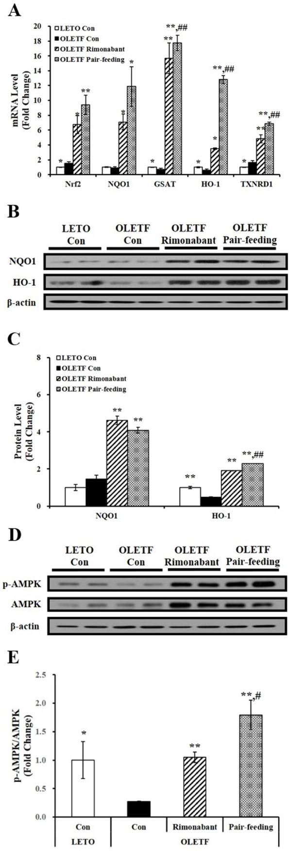 Effects of rimonabant on Nrf2 and its downstream gene expression and AMPK phosphorylation in rat livers. (A) Hepatic Nrf2 and antioxidant-responsive element (ARE)-mediated NQO1, HO-1, GSTA, and TRNRD1 gene expression were determined by RT-PCR, normalized for all samples to ribosomal RNA (18S) level, and expressed as fold change compared to LETO control rats (LETO Con). Representative western blots for NQO1, HO-1, and β-actin (B) and p-AMPK, AMPK, and β-actin (D). The density of signal was quantified and normalized by β-actin (C) or AMPK (E). Data are expressed as mean ± SEM (n = 4–5 per group). *P