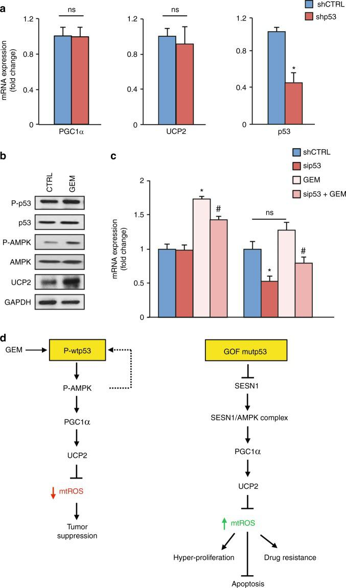 Gemcitabine triggers WTp53 and UCP2 expression. a PaCa3 cells (WTp53) were transfected for 48 h with the pRSuper-p53 vector or its relative negative control (shCTRL). Gene expression analysis of p53, UCP2, and PGC-1α was performed by RT-qPCR and normalized to GAPDH mRNA. Protein expression analysis of p53, PGC-1α, UCP2, and GAPDH was performed by western blotting. * p