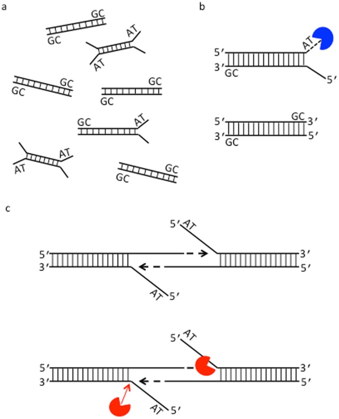 "A model for GC-related sequence coverage bias in amplification-free NGS data. ( a ) A schematic of DNA end ""breathing"" (or ""fraying"") present in the AT-rich fraction of a DNA library. DNA thermal breathing refers to spontaneous local conformational fluctuations, leading to unpaired bases at the ends of DNA duplex. The extent of breathing is highly dependent upon temperature and DNA sequence so that AT-rich segments (AT) melt before GC-rich segments (GC). The difference of the end breathing profile relevant to GC-content leads to less efficient end-polishing of AT-rich fragments during library construction using DNA modifying enzymes, resulting in the under-representation of the AT-rich regions. ( b ) Degradation of AT-rich DNA by 3′-5′ exonuclease activity of T4 DNA pol (blue). Preferential degradation of AT-rich DNA fragments that undergo terminal base pair breathing may occur at the end repair step or during high temperature incubation. ( c ) Processing AT-rich DNA by Taq DNA pol at elevated temperatures. During high temperature incubation, for example, at 65 °C or 70 °C, the ends of AT-rich DNA fragments melt into transient or predominant single-stranded structures. Taq DNA pol (red) can act on these DNA substrates by its polymerization and 5′ nuclease activities as previously described 34 , yielding unintended cleavage and primer extension products. Arrow (red) indicates the position of cleavage whereas arrow in black indicates the orientation of primer extension due to intermolecular annealing of two single-stranded 3′ terminal sequences. Primer extension may also occur from intramolecular annealing of a single-stranded 3′ terminal sequence."