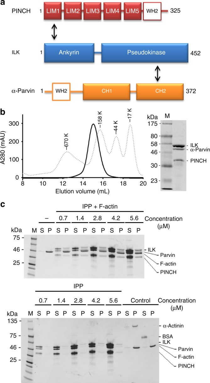 IPP interaction with F-actin. a Schematic organization of IPP based on structural data. ILK binds to PINCH LIM1 via its ankyrin domain and α-Parvin CH2 via its pseudokinase domain, respectively. The Wiscott–Aldrich syndrome protein (WASP) homology domain (WH2) motifs are highlighted in PINCH and α-Parvin. b A representative gel filtration profile of the purified IPP complex by Superose 6 10/300 GL size exclusion chromatography column (GE healthcare). The eluted peak is overlaid with an elution curve of standard molecular weight proteins (dot lines). c Co-sedimentation of IPP at dose-dependent amounts in the presence/absence of F-actin. The F-actin was incubated at 2.3 μM constant concentration with increasing concentrations of each test sample in 5% glycerol containing protein buffer. Representative gels with Coomassie stain are shown. M marker proteins, S supernatant, P pellets