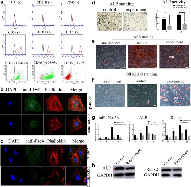 MiR-29a-3p expression was decreased in experiment group correlated with compromised osteogenic differentiation. a FACS was performed to identify BMSCs and assess the purity of BMSCs. Immunofluorescence was carried out to show the cytoskeletal structures and the introcellular location of ALP proteins ( b ), and Runx2 proteins ( c ). d ALP staining and ALP activity assays were applied to detect osteogenic differentiation. e ARS staining was used to determine the mineralization of osteoblasts, mn: mineralized nodule. f Oil red O staining was conducted to analyze the adipogenesis of osteoblasts, drop: lipid drop. g Relative expression levels of miR-29a-3p, ALP mRNA and Runx2 mRNA in control and experiment groups. h Western blotting was used to detect ALP and Runx2 proteins in control and experiment groups. Results are represented as mean ± SD of three independent experiments. * P