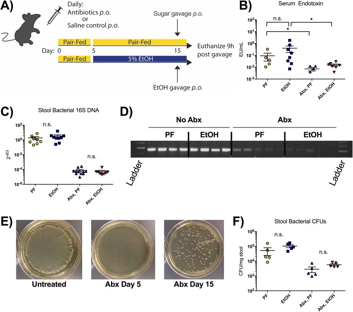 Oral antibiotics significantly reduce the gut bacterial load. a Four groups of wild-type C57BL/6J female mice were treated with pair-fed diet (PF; n = 5), 5% alcohol diet (EtOH; n = 10), oral antibiotics (Abx) with PF ( n = 6), or Abx with EtOH ( n = 9). An acute sugar or alcohol binge was given 9 h before sacrifice. b Serum endotoxin was measured at sacrifice to determine translocation of gut bacterial products into systemic circulation. c DNA was isolated from the stool of PF and EtOH mice before sacrifice, and 16S DNA was measured by qPCR using universal 16S primers. d The PCR products from c were run on an agarose gel for a general comparison of the four groups. e Stools were resuspended in thioglycolate and plated on non-selective agar to measure gut bacterial load prior to antibiotic treatment (untreated), after 5 days of Abx treatment (Abx day 5), and at the end of the experiment (Abx day 15). f Colony-forming units (CFUs) were quantified from stool extracted at sacrifice on day 15. Data are mean ± SEM, n = 5–10 mice/group. * p