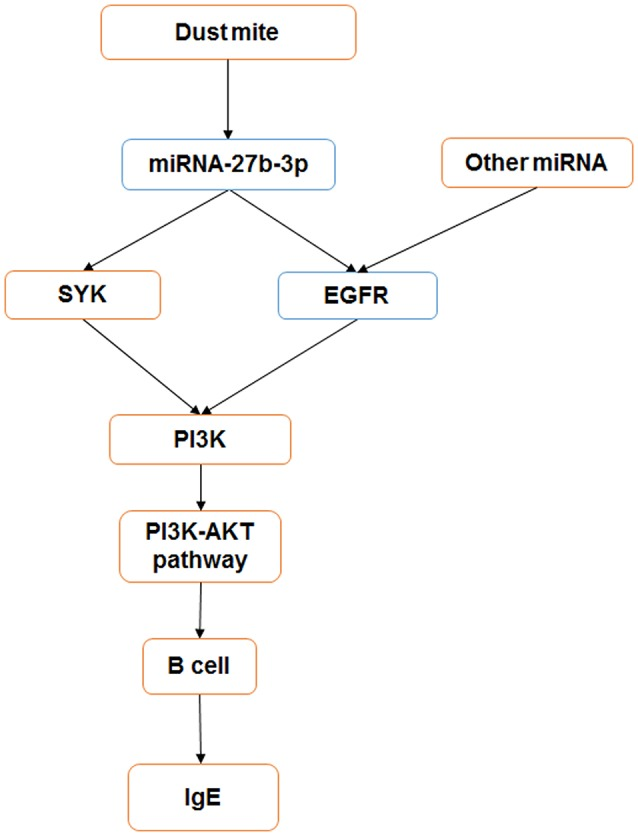 miRNA-27b-3p regulated target genes and the PI3K- Akt pathway in dust mite-induced pediatric asthma. miRNA-27b-3p could regulate its target genes SYK and EGFR , which induced the expression of the downstream gene PI3K. Then, the activity of the PI3K-akt pathway was changed, and the process of B-cell secreting IgE was influenced in turn. Blue indicates the expression is decreased, and orange indicates it is increased.