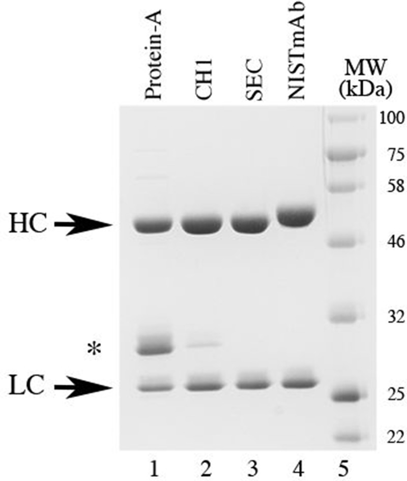 SDS-PAGE analysis of eNISTmAb purification steps. SDS-PAGE analysis of the eNISTmAb after purification on Protein-A (lane 1) or CH1 (lane 2) column and after SEC purification of the eluted proteins from the Protein-A column (lane 3). NISTmAb was used as a reference (lane 4). Five micrograms of each protein were separated on a 10% SDS-PAGE followed by staining with Coomassie Brilliant Blue R-250. Lane 5, molecular weight marker (kDa); HC, heavy chain; LC, light chain, *, truncated heavy chain.