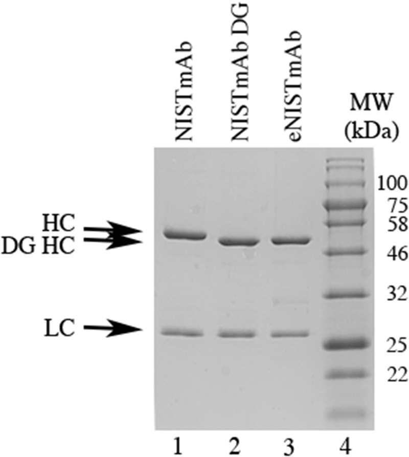 SDS-PAGE comparison of the NISTmAb, deglycosylated NISTmAb and the eNISTmAb. Two and half microgram of the NISTmAb (lane 1), deglycosylated NISTmAb (lane 2) and eNISTmAb (lane 3) were separated on a 12% SDS-PAGE followed by staining with <t>Coomassie</t> Brilliant Blue R-250. Lane 4, molecular weight marker (kDa); HC, heavy chain; LC, light chain, DG HC, deglycosylated NISTmAb heavy chain.