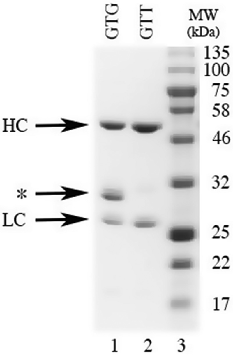 The effect of the GTG to GTT substitution at the rare initiation site on the expression of the eNISTmAb. SDS-PAGE analysis of the eNISTmAb after purification on Protein-A. Lane 1 is the purified protein after expression from the clone in which GTG encodes for V 214 . Lane 2 is the purified protein after expression from the clone in which GTT encodes for V 214 . Five micrograms of each protein were separated on a 12% SDS-PAGE followed by staining with Coomassie Brilliant Blue R-250. Lane 3, molecular weight marker (kDa); HC, heavy chain; LC, light chain, *, truncated heavy chain.