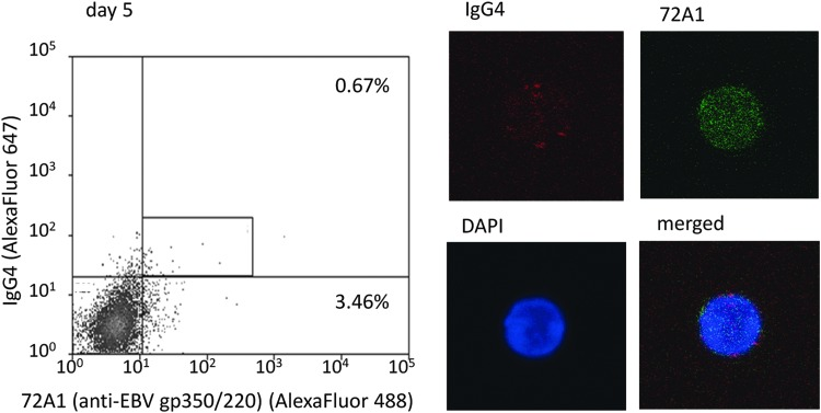 Detection of IgG4(+)72A1(+) double-positive cells in culture cells on day 5. We detected IgG4-positive and EBV-reactivated [IgG4(+)72A1(+)] cells in culture cells on day 5 and confirmed sorted cells by confocal laser microscope. Red spots are surface IgG4 and fine green dots are 72A1 antibodies binding to EBV-gp350/220. The frequency of 72A1(+) cells of this sample (representative case; patient 3) was 4.13% (0.67 + 3.46), and the mean frequency of four samples was 9.88% ( Supplementary Table S1 ).