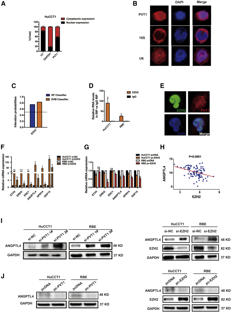 PVT1 Binds with EZH2 to Coregulate Target Genes, Especially ANGPTL4 (A) After nuclear and cytosolic separation, RNA expression levels were measured by qRT-PCR. GAPDH was used as a cytosolic marker and U1 was used as a nuclear marker. (B) Fluorescent images of RBE cells treated with anti- PVT1 (red), anti- 18S (red), and anti- U6 (red) RNA probes. DAPI staining is shown in blue. (C) The probability of interaction of EZH2 and PVT1 was determined with an online tool ( http://pridb.gdcb.iastate.edu/RPISeq/index.html ). Predictions with probabilities > 0.5 were considered positive. RPI-seq predictions are based on random forest (RF) or support vector machine (SVM). (D) An RIP experiment for EZH2 was performed, and the coprecipitated RNA was subjected to qRT-PCR for PVT1 . (E) Expression and co-localization of EZH2 and PVT1 in HuCCT1 cells. Representative fluorescent images show HuCCT1 cells treated with fluorescently labeled anti-EZH2 antibody (green) and anti- PVT1 RNA (red). DAPI staining indicates the cell nuclei (blue). (F) Methylation-related genes were detected by qRT-PCR in the HuCCT1 and RBE cell lines after knockdown of EZH2 . (G) Methylation-related genes were detected by qRT-PCR in the HuCCT1 and RBE cell lines after overexpression of EZH2 . (H) The correlation between EZH2 and ANGPTL4 expression was detected by analyzing GEO: GSE26566 data. (I) The altered protein levels of ANGPTL4 were selectively confirmed by western blot analysis in cells with knockdown of PVT1 or EZH2 . (J) The altered protein levels of ANGPTL4 were selectively confirmed by western blotting in cells overexpressing PVT1 or EZH2 . The error bars indicate the means ± SD. *p