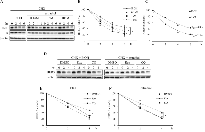 Estradiol induces rapid degradation of HER3 via proteasome pathway. (A) MCF-7 cells were incubated with serum-starved PRF-DMEM for 1.5 h. The cells were then treated with 50 µg/ml cycloheximide (CHX) for 30 min, followed by treatment with indicated concentrations of estradiol. The cells were lysed at indicated time points and subjected to immunoblotting for anti-HER3, anti-ER and anti-β actin antibodies. (B) The quantification of the HER3 protein levels was done using ImageJ software. The protein levels were normalized to β actin levels. The results are shown as means ± SD of three independent experiments. *P