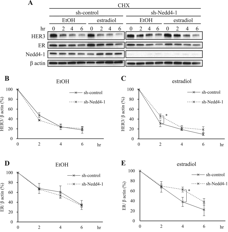 Nedd4-1 regulates HER3 and ER degradation in the presence of estradiol. (A) sh-control <t>MCF-7</t> cells and sh-Nedd4-1 knockdown MCF-7 cells were incubated with serum-starved <t>PRF-DMEM</t> for 1.5 h. The cells were then treated with 50 µg/ml CHX for 30 min, followed by treatment with EtOH or 1 nM estradiol in the presence of CHX. All protein levels were assessed by immunoblotting at indicated time points. Quantification of the HER3 (B, C) and ER (D, E) protein levels were done using ImageJ software. The protein levels were normalized to β actin levels. All values are shown as means ± SD of three independent experiments. *P