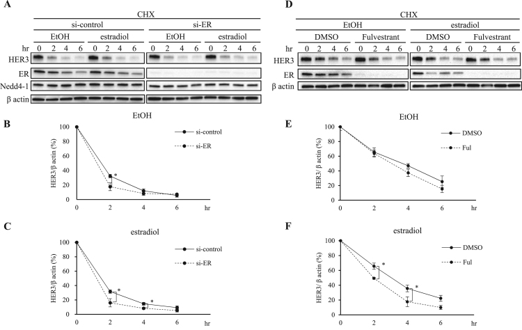 Depletion of ER promotes the rapid degradation of HER3. si-control MCF-7 cells and si-ER knockdown MCF-7 cells were incubated with serum-starved PRF-DMEM for 1.5 h. The cells were then treated with 50 µg/ml CHX for 30 min, followed by treatment with EtOH or 1 nM estradiol in the presence of CHX. All protein levels were assessed using immunoblotting at indicated time points. (B, C) Quantification of the HER3 protein levels was done using ImageJ software. All data from the three experiments were normalized to β actin. Mean values ± SD were plotted. *P
