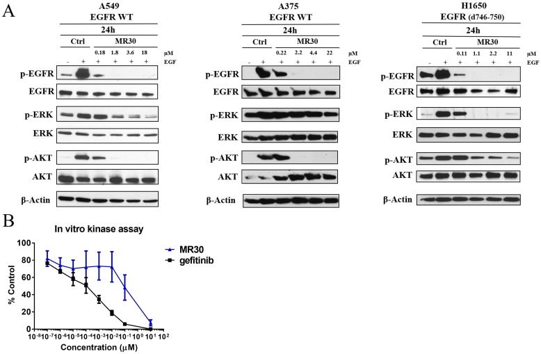 Effects of MR30 on cell signaling (A) Inhibition of phosphorylation of EGFR and downstream signaling proteins, p-ERK1/2 and p-AKT by MR30 was studied at the 0.1, 1, 2 and 10x IC 50 concentrations on A549 (wild-type EGFR), A375 (wild-type EGFR) and H1650 (EGFR d746-750) by western blot. MR30 strongly inhibited EGFR autophosphorylation at submicromolar concentrations, which has led to inhibition of downstream signaling by inhibiting p-ERK1/2 and p-AKT. (B) MR30 and gefitinib were tested in in vitro EGFR kinase assay. MR30 as well as gefitinib showed dose dependent inhibition of EGFR phosphorylation. Gefitinib induced stronger inhibition of EGFR phosphorylation than MR30.