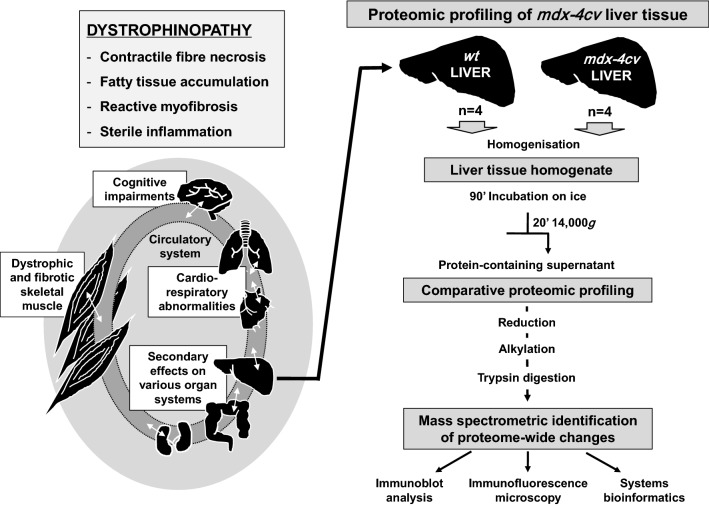 Overview of the complex multi-system pathophysiology of dystrophinopathy and proteomic workflow to analyse the mdx - 4cv liver. Duchenne muscular dystrophy is caused by primary abnormalities in dystrophin and triggers progressive skeletal muscle wasting, cardio-respiratory abnormalities and cognitive impairments. In addition, X-linked muscular dystrophy is also characterized by secondary effects on a variety of organ systems including the liver. Proteome-wide changes in liver tissue were determined by comparative proteomics using the dystrophic mdx - 4cv mouse model of Duchenne muscular dystrophy. Results obtained by mass spectrometry using an Orbitrap Fusion Tribrid apparatus were analysed by systems bioinformatics, and key findings were confirmed by verification studies employing immunoblotting and immunofluorescence microscopy
