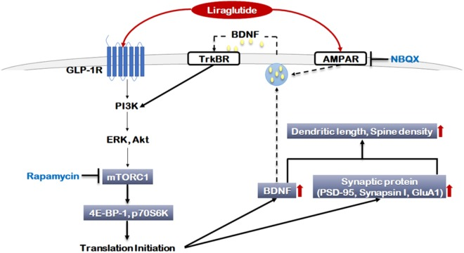 Signaling pathways regulated by liraglutide. The molecular pathways shown in gray boxes illustrate our novel observations. Akt: Protein kinase B (PKB), AMPAR: α-amino-3-hydroxy-5-methylisoxazole-4-propionic acid (AMPA) receptor, BDNF: brain-derived neurotrophic factor, ERK: extracellular signal-regulated kinase, GLP-1R: glucagon-like peptide 1 receptor, GluA1: AMPA receptor subunit GluR1, mTORC1: mammalian target of rapamycin complex 1, NBQX: 2,3-dioxo-6-nitro-1,2,3,4-tetrahydrobenzo[f]quinoxaline-7-sulfonamide, p70S6K: P70S6 kinase, PI3K: Phosphoinositide 3-kinase, PSD-95: Post Synaptic Density 95 protein, TrKBR: tropomyosin receptor kinase B receptor, 4E-BP-1: eukaryotic translation initiation factor 4E (eIF4E)-binding protein 1.