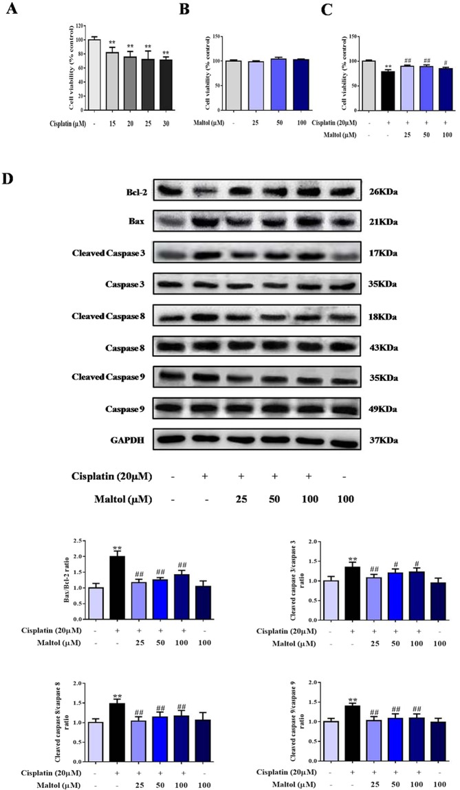 Protective effects of maltol on cisplatin-induced injury in HEK293 cells. ( A ) The cytotoxic effects of cisplatin on HEK293 cells. ( B ) Effect of maltol on the activity of normal cells. ( C ) The viability of HEK293 cells incubated with maltol after cisplatin exposure. Effects of maltol on the protein expression levels of Bcl-2, Bax and caspase 3, 8, 9 as well as GAPDH protein was used as a loading control. ( D ) Cells were used for western blot analysis of indicated proteins (upper panel). Column chart represents relative protein levels compared with the control group after normalization to GAPDH levels (lower panel) Values are expressed as mean ± S.D. n = 8. ** p