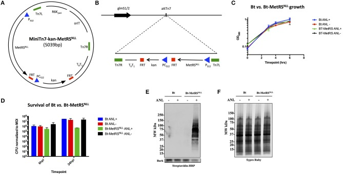 Expression of MetRS NLL in B. thailandensis (Bt) leads to incorporation of Anl into Bt proteins. (A) Map of MiniTn7-kan-MetRS NLL plasmid used for integration of MetRS NLL into the genome of B. thailandensis strain E264. E. coli MetRS NLL gene, optimized for expression in Burkholderia spp., is constitutively expressed using the P S12 promoter. PC S12 promoter drives the constitutive expression of kanamycin resistance used for selection of transformed bacteria. (B) Scheme of Tn7 transposon attachment sites downstream of glucosamine-6-phosphate synthetase genes 1 and 2 (glmS1/2), each located on one of the two B. thailandensis chromosomes, allowing for site-specific directional transposition of genes into B. thailandensis genome. FRT, flippase recognition target sites for flippase-mediated excision of FRT flanked DNA; P S12 , B. thailandensis ribosomal protein S12 gene promoter; PC s12 , B. cenocepacia rpsL promoter; T 0 T 1 , transcriptional terminator; Tn7L and Tn7R, left and right transposase recognition sites of Tn7 transposon; R6K ⋎ ori , origin of replication; oriT, conjugal origin of transfer. Black arrows indicate genes and their transcriptional orientations (MetRS NLL , methionyl-tRNA synthetase; kan, kanamycin resistance; glmS, glucosamine-6 phosphate synthetase). (C) Growth curves of wild type Bt and Bt-MetRS NLL cultured in LB broth with or without azidonorleucine (Anl). Optical density (OD 600 ) measurements of cultures were taken during log phase. Each growth curve represents two biological replicates. (D) Survival of bacteria (wild-type Bt and Bt-MetRS NLL strains) assessed by infecting human epithelial cells (A549) at MOI 10. Cultures were grown in DMEM supplemented with or without Anl. At 2 h hpi, cells were washed with PBS to remove unassociated extracellular bacteria. Cell layers were washed and lysed with saponin at 6 and 24 hpi and bacterial counts determined by plating culture dilutions on LB agar. Colony forming units (CFUs) were normalized to t