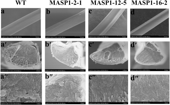 """<t>Field</t> <t>emission</t> <t>scanning</t> <t>electron</t> micrographs of the fibres. The surface structure of the silk fibres derived from the non-transgenic silkworm lineages ( a ) and the transgenic silkworm lineages MASP1-2-1 ( b ), MASP1-12-5 ( c ) and MASP1-16-2 ( d ); the cross section structure of the silk fibres derived from the non-transgenic silkworm lineages ( a' , a"""" ) and the transgenic silkworm lineages MASP1-2-1 (b' , b"""" ), MASP1-12-5 ( c' , c"""" ) and MASP1-16-2 ( d' , d"""" ). Scale bars in a-d, 10μm; in a'-d', 5 μm; in a""""-d"""", 1 μm."""