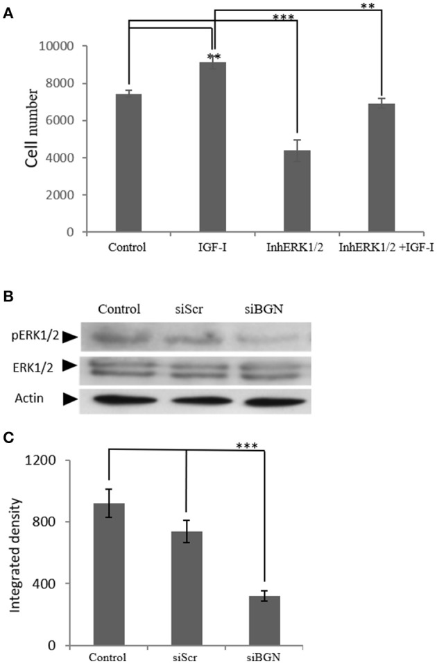 The role ofERK1/2 on MG63 cell proliferation and the effect of biglycan expression on its activation. (A) MG63 cells were harvested and seeded (3,500 cells/well) on 96-well plates. Cells, in each well, incubated with serum-free medium (control), 10 ng/ml IGF-I (IGF-I), 5 μM ERK1/2 inhibitor (InhERK1/2), and 10 ng/ml IGF-I + 5 μM ERK1/2 inhibitor (IGF-I+InhERK1/2), were counted using fluorometric CyQUANT assay kit. (B) Expression of ERK1/2 total protein (ERK1/2) and phosphorylated ERK1/2 protein (pERK1/2) of cells incubated in serum-free medium (control) and cells transfected with either siRNAs against biglycan (siBGN) or scrambled siRNAs (siScr) were determined by Western blot analysis. (C) Densitometric analysis of the activated ERK1/2 levels (pERK1/2 /ERK1/2) from the proteinbandswere normalized against actin and plotted. Results represent the average of three separate experiments. Means ± S.E.M were plotted; statistical significance: *** p ≤ 0.001, ** p ≤ 0.01 compared with the respective control samples.