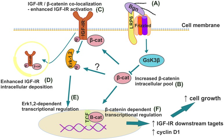 Schematic presentation of proposed biglycan/LRP6/IGF-IR downstream signaling axis in regulation of MG63 osteosarcoma cell growth. (A) Secreted to ECM biglycan binds to LRP6 and activates frizzled to de-activate GSK3β. (B) β-catenin cytoplasmic pool increases. (C) β-catenin co-localizes with IGF-IR to enhance its activation/deposition to membrane and to (D) cytoplasm. (E) pIGF-IR activates <t>ERK1,2</t> to induce downstream transcriptional regulation. (F) Part of cytoplasmic β-catenin pool translocates to nucleus to induce transcriptional regulation of target genes.