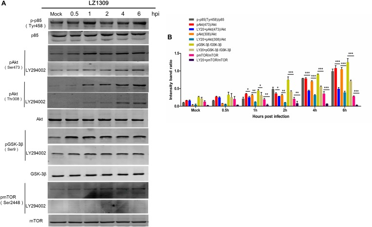 MDV induces phosphorylation of signaling proteins involved in the PI3K/Akt pathway. (A) CEFs cells were pre-incubated or not with LY294002 (20 μM) for 1 h and infected with MDV-LZ1309 at 0.1 MOI. Cells were collected at 0, 0.5, 1, 2, 4, and 6 hpi and cell lysates examined for phospho-p85 (Tyr458), total p85, phospho-Akt (Ser473), phospho-Akt (Thr308), total Akt, phospho-GSK-3β (Ser9), total GSK-3β, phospho-mTOR (Ser2448), total mTOR, and GAPDH by western blotting. (B) Quantification of relative phosphorylated protein band intensities to total protein in (A) . The data represent the mean ± SD of three independent experiments. Two-way ANOVA, ∗ P
