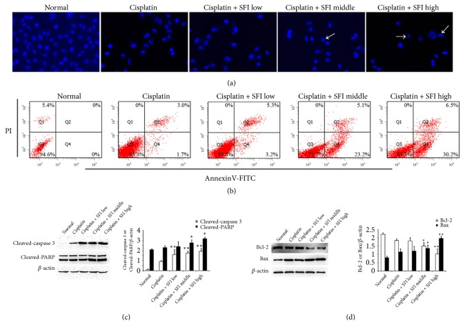 """Cotreatment with cisplatin and SFI induces cell apoptosis in A549/DDP cells. A549/DDP cells were pretreated with various concentrations (2, 3.78, and 35.18 mg/mL) of SFI for 2 hours and then exposed to cisplatin (40 μ g/mL) for another 24 hours. (a) Apoptosis determined by Hoechst staining. """"→"""" shows apoptosis cells with nuclear condensation. (b) Apoptosis determined by Annexin V-FITC/PI staining. Each cytogram consists of data showing live cells (PI- and FITC-negative) in Q3; early apoptotic population (FITC-positive) in Q4; mid- to late-stage apoptosis (PI- and FITC-positive) in Q2; and necrotic/end-stage apoptotic cells (PI-positive and FITC-negative) in Q1. (c) Cell lysates were prepared and subjected to immunoblotting with antibodies to cleaved caspase 3, cleaved-PARP, Bcl-2, Bax, and β -actin. Data are presented in the format of mean ± standard deviation of three independent experiments ( ∗ : P"""