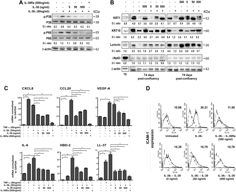 IL-38 inhibits IL-36γ-induced P38 and NF-κB signalings, as well as regulates the expression of differentiation markers and inflammatory molecules in human keratinocytes. All experiments were performed on keratinocyte cultures ( n = 3 strains) undergoing terminal differentiation and stimulated or not with IL-36γ in presence or absence of the indicated doses of IL-38 or IL-36Ra. a Protein extracts were obtained from keratinocyte cultures stimulated for 24 h and subjected to WB analysis to detect P38 and P65 phosphorylation. Filters were probed with anti-P38 and -P65 Abs. b Keratinocyte cultures were analyzed for KRT1, KRT10, Loricrin and ΔNp63 expression by WB. a , b β-actin was used as loading control and DI ratio indicates the densitometric intensity of the indicated phosphorylated/unphosphorylated proteins shown in one representative of three different WB. c mRNA levels of CXCL8, CCL20, VEGF-A, IL-6, HBD-2, and LL-37 were detected by real-time PCR analysis in keratinocytes stimulated for 6 h and normalized for GAPDH mRNA levels. TNF-α treatment was used as positive control. d ICAM-1 expression was evaluated by flow cytometry analysis on keratinocytes stimulated for 24 h with IL-36γ (50 ng/ml) and shown as mean fluorescence intensity. All data shown are the mean of three different experiments. c * p ≤ 0.05 and p ** ≤ 0.01 compared with untreated or IL-36γ-treated cultures, as assessed by Mann–Whitney U test