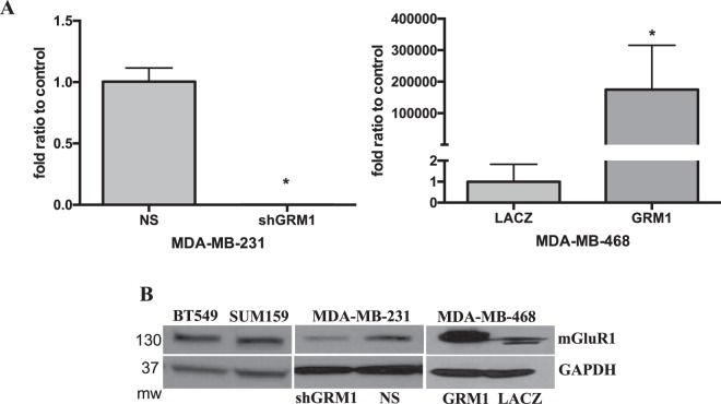 GRM1 and mGluR1 expression in TNBC. ( A ) Knockdown of GRM1 was accomplished by infecting MDA-MB-231 cells with GIPZ shRNA Lentiviral vectors containing a puromycin resistance gene and shRNA against GRM1 or a non-silencing shRNA construct (NS). GRM1 overexpression was accomplished by infecting MDA-MB-468 cells with pLenti6.3/V5-TOPO vectors containing a blasticidin resistance gene and GRM1 or LACZ construct ( LACZ ). Cells were stably selected with puromycin (1 μg/ml) or blasticidin (5 μg/ml) for 7 days and levels of GRM1 message ( A ) or its corresponding protein, mGluR1 ( B ) were measured by QPCR or Western blot, respectively. mGluR1 expression in SUM159, BT549 and non-transduced MDA-MB-231 TNBC cell lines were also detected. Results in A represent n = 2 experiments and are expressed as the mean ± SEM where *is P