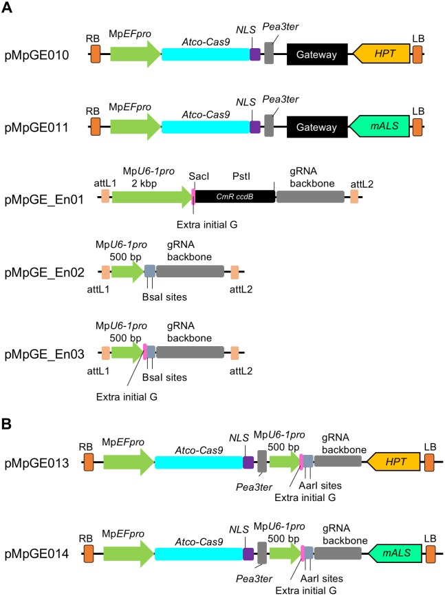 """All-in-one vector systems for genome editing in M . polymorpha . (A) Designs of Gateway-based all-in-one binary vectors and entry plasmids for gRNA cloning. pMpGE010 and pMpGE011 contain a cassette for the expression of Atco-Cas9 fused with an NLS under the control of Mp EF pro , a Gateway cassette, and a cassette for the expression of hygromycin phosphotransferase ( HPT ) in pMpGE010 and mutated acetolactate synthase ( mALS ) in pMpGE011. pMpGE_En01 contains recognition sites for two restriction enzymes, SacI and PstI, upstream of a gRNA backbone for the insertion of a guide sequence by In-Fusion/Gibson cloning, which automatically places a G nucleotide for transcription initiation by RNA polymerase III (extra initial G). Expression of single guide RNAs is controlled by a 2 kbp fragment of Mp U6-1 pro . pMpGE_En02 and pMpGE_En03 contain two BsaI recognition sites upstream of the gRNA backbone for the insertion of a guide sequence by ligation without or with an """"extra initial G,"""" whose expression is under the control of a 500 bp Mp U6-1 pro fragment. For all the entry vectors, the gRNA cassette is flanked by the attL1 and attL2 sequences and is thus transferrable to the Gateway cassette in pMpGE010 or pMpGWB011 by the LR reaction. (B) Designs of all-in-one binary vectors for direct gRNA cloning. pMpGE013 ( HPT marker) and pMpGE014 ( mALS marker) contain the Atco-Cas9-NLS expression cassette, a unique AarI site in the upstream of the gRNA backbone for insertion of a guide sequence by ligation with an """"extra initial G,"""" whose expression is under the control of a 500 bp Mp U6-1 pro fragment."""