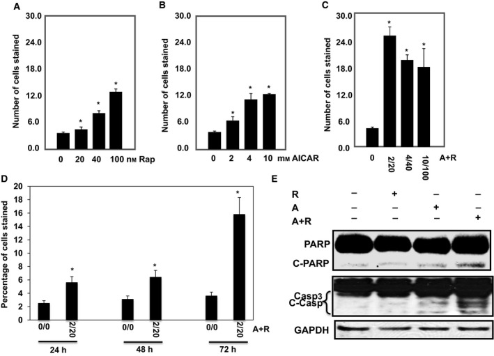 Significant increase in number of apoptotic cells is dependent on drug concentration and time exposure in 786‐O cells. Serial concentrations of (A) rapamycin (0–100 n m ), (B) AICAR (0–10 m m ), and (C) drug combinations (0/0–2/20, 4/40 and 10/100, m m /n m ) show that increase in number of apoptotic cells is dose‐dependent using annexin V‐ FITC conjugated to PI by flow cytometry. In addition, treatment of the cells with drug combinations for 24, 48, and 72 h (D) shows that increase in number of apoptotic cells is time‐dependent. Apoptotic data were confirmed in cells by measuring apoptotic protein expression. Lysates from cells treated with rapamycin (20 n m ), AICAR (2 m m ) or rapamycin+ AICAR (20 n m /2 m m ) for 72 h were subjected to Western blot analysis to measure PARP and caspase 3 cleavages. (E) Significant increase was detected in cleavage of PARP at 85 kD a and caspase 3 at 22 and 17 kDa in 786‐O cells treated with drug combinations compared with cells treated with each drug alone for 72 h. GAPDH was used as a loading control. Data represent mean ± SEM ( n = 4). Significant difference from control tissues is indicated by * P