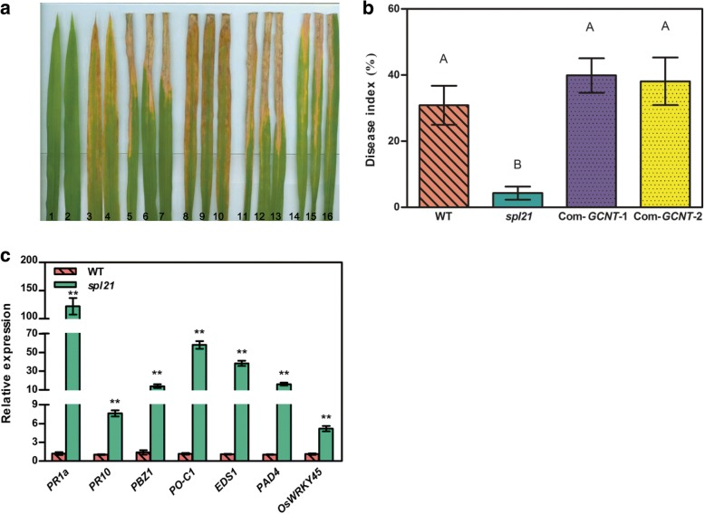 Evaluation of disease resistance and expression of defense signaling-related genes in spl21 and WT. a Reactions to Xoo race PXO99. 1–2: WT before inoculation; 3–4: spl21 before inoculation; 5–7: WT after inoculation; 8–10: spl21 after inoculation; 11–16: complementation lines. b Mean lesion length/leaf length radio after inoculation of plant leaves with PXO99. Data represent the lesion length means ± SD from 5 independent plants at the tillering stage (Student's t -test: **, P ≤ 0.01). c Relative expression of seven defense signaling-related genes in WT and spl21 at the tillering stages analyzed by qRT-PCR. The expression level of each gene in WT was normalized to 1; data represent the mean ± SD of three biological replicates (Student's t -test: **, P ≤ 0.01)